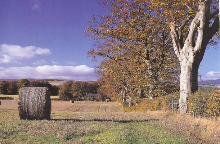 Fall - Angus Beech trees