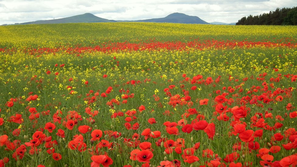 Poppies & Buttercups