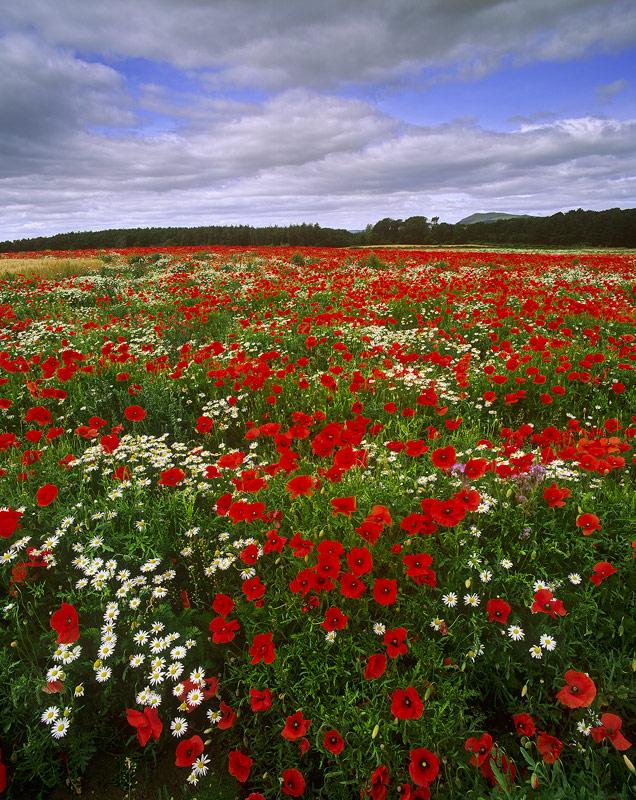 Poppies Kilconquhar, Pttenweem, Fife
