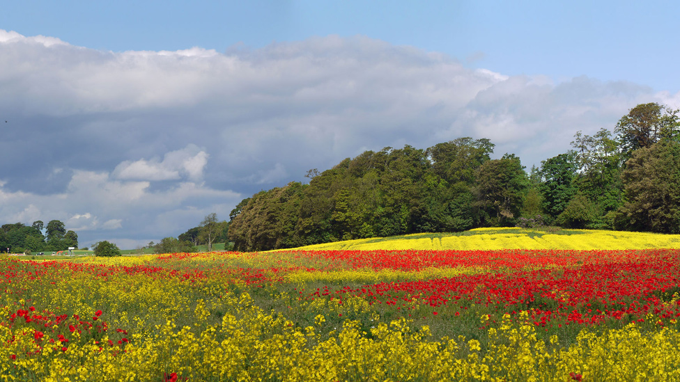 Poppies and rapeseed at Pattiesmuir