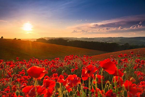 remembrance poppy field