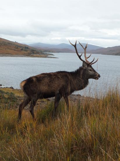 Stag at Loch Quoich