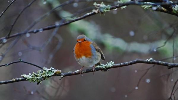 Winter - Robin redbreast