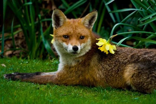 Spring - Fox & Daffodil