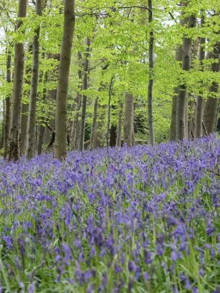 Spring - Bluebells