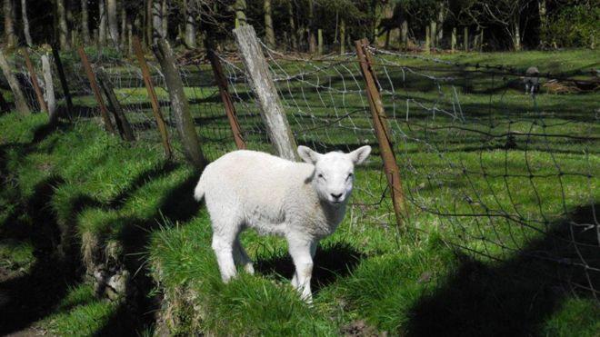 Spring - Lost lamb