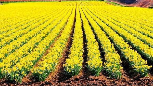 Spring - Montrose daffodils